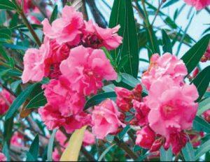 leandrul-o-floare-a-mediteranei